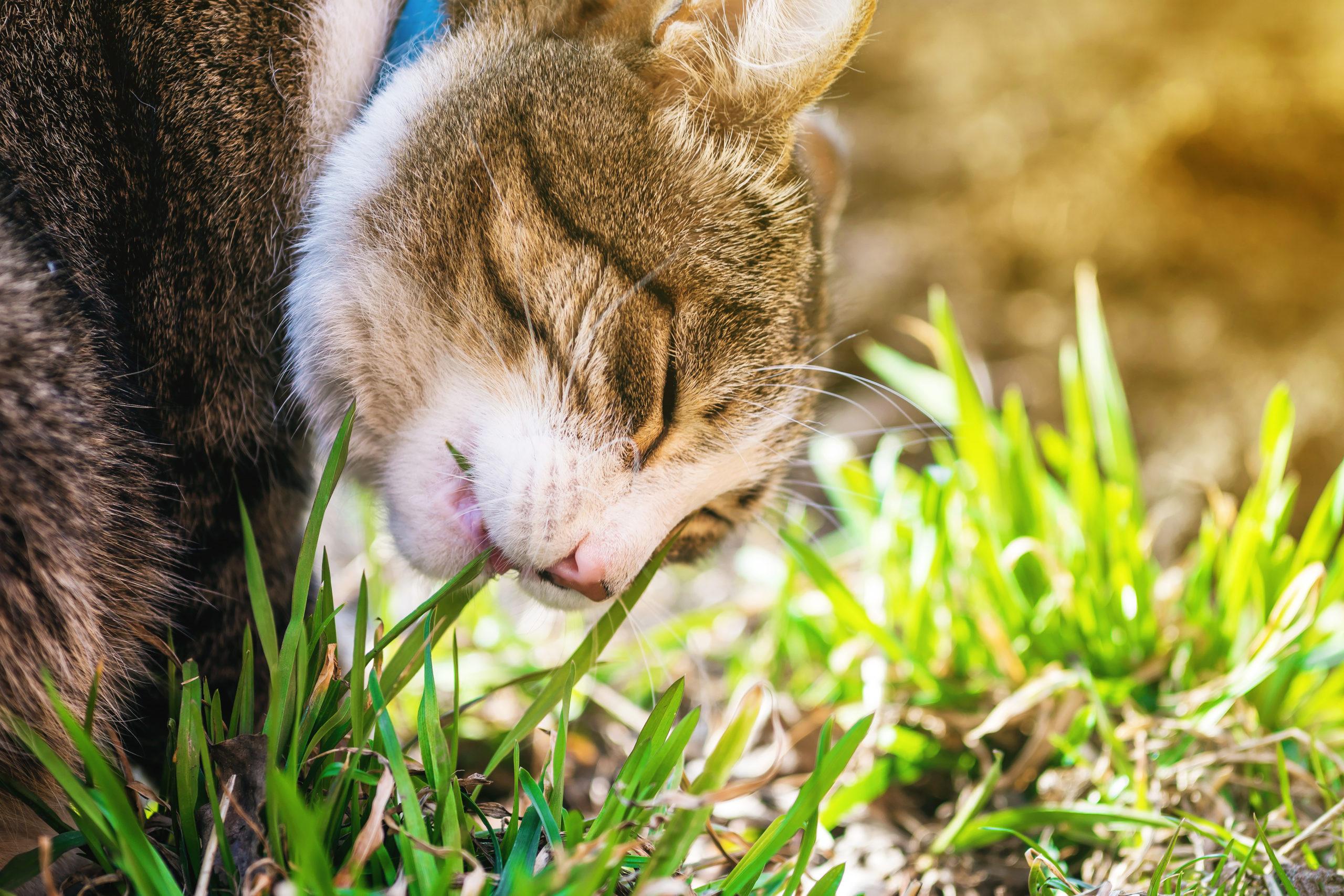 ネコは肉食なのに猫草を好きな理由:まとめ