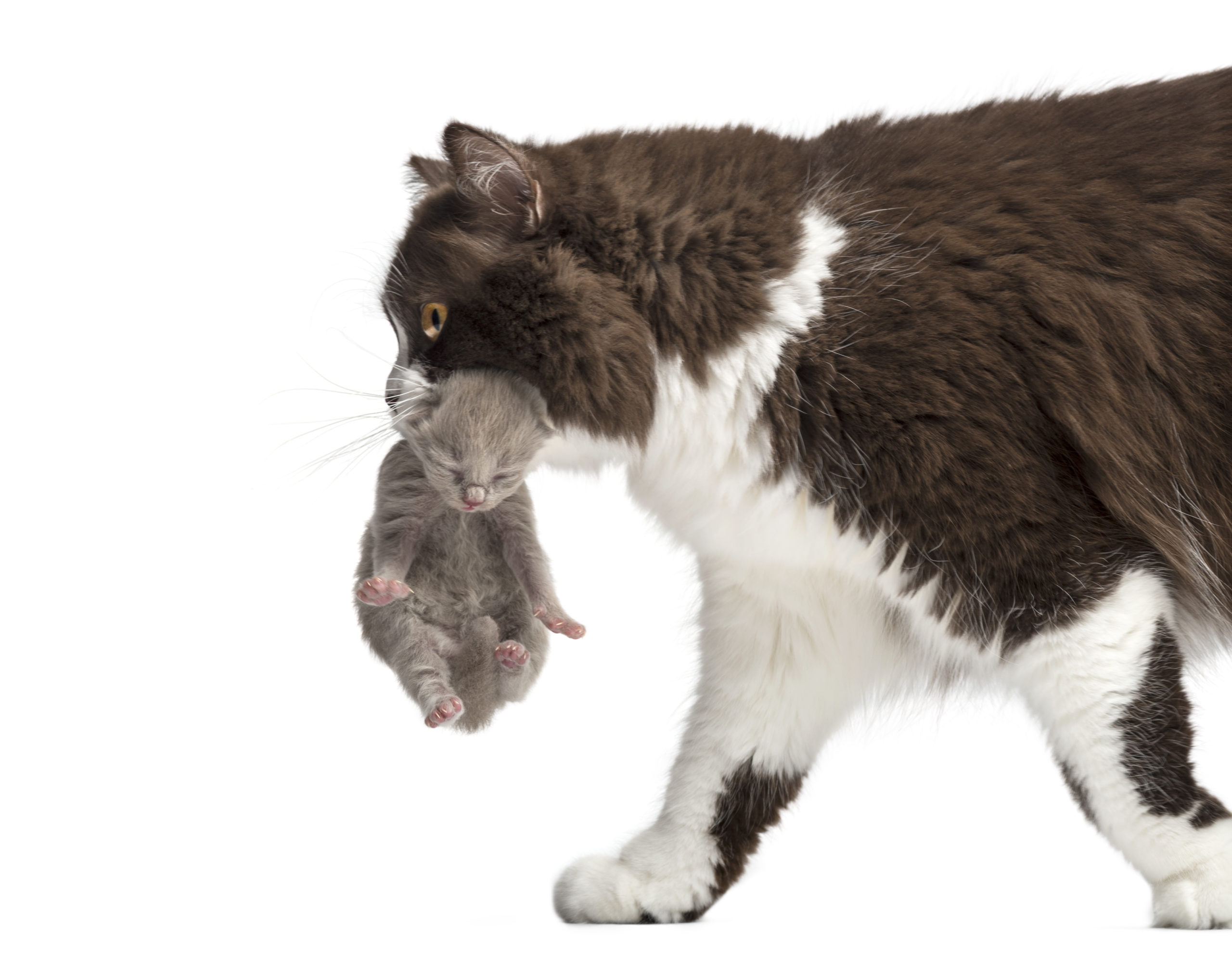 ネコは首の後ろを掴むと大人しくなるって本当?暴れネコにも効果アリ