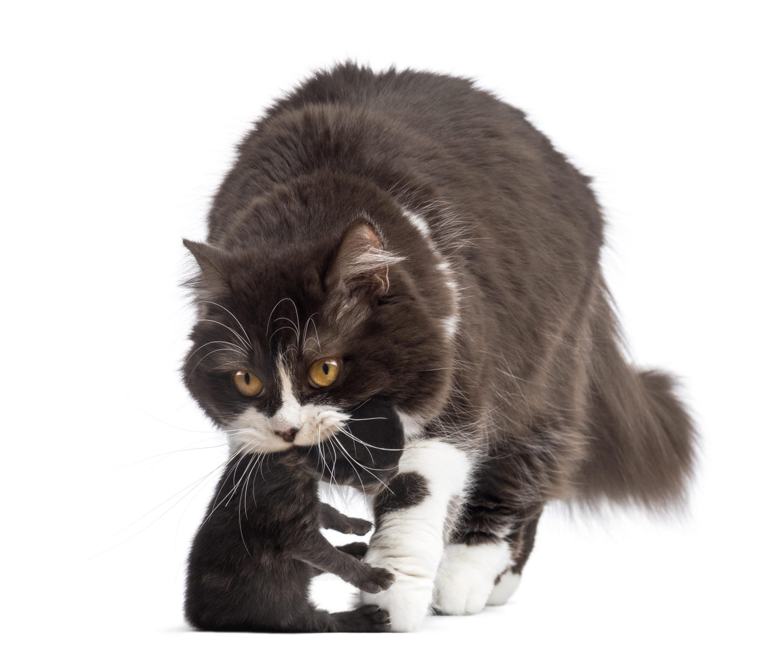 ネコは首の後ろを掴むと大人しくなるって本当?