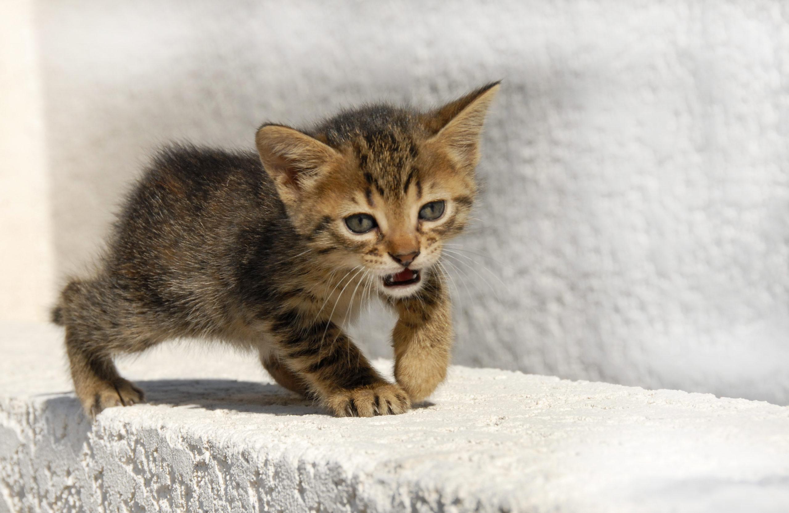 ネコがうるさい理由とは?原因と対策【発情期にもうるさくなります】