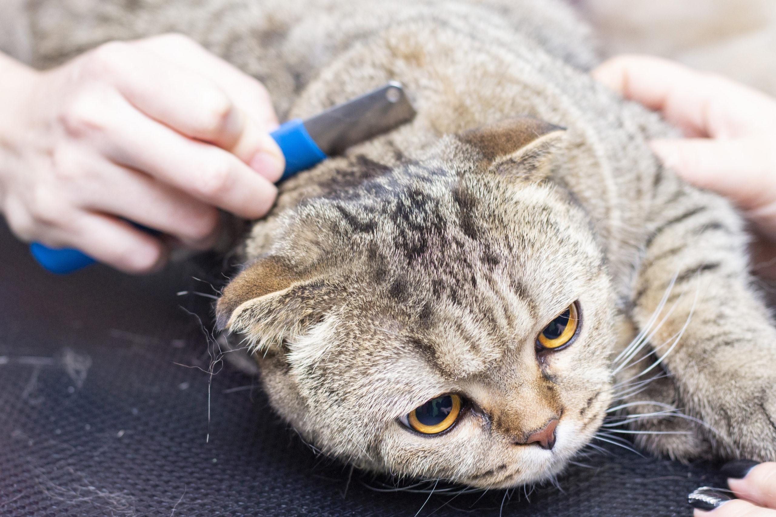 ネコのフケ対策