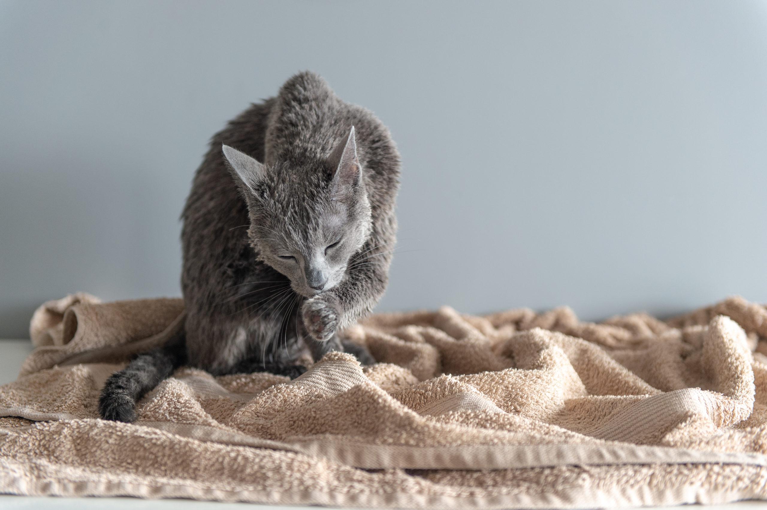 ネコに体臭がない理由