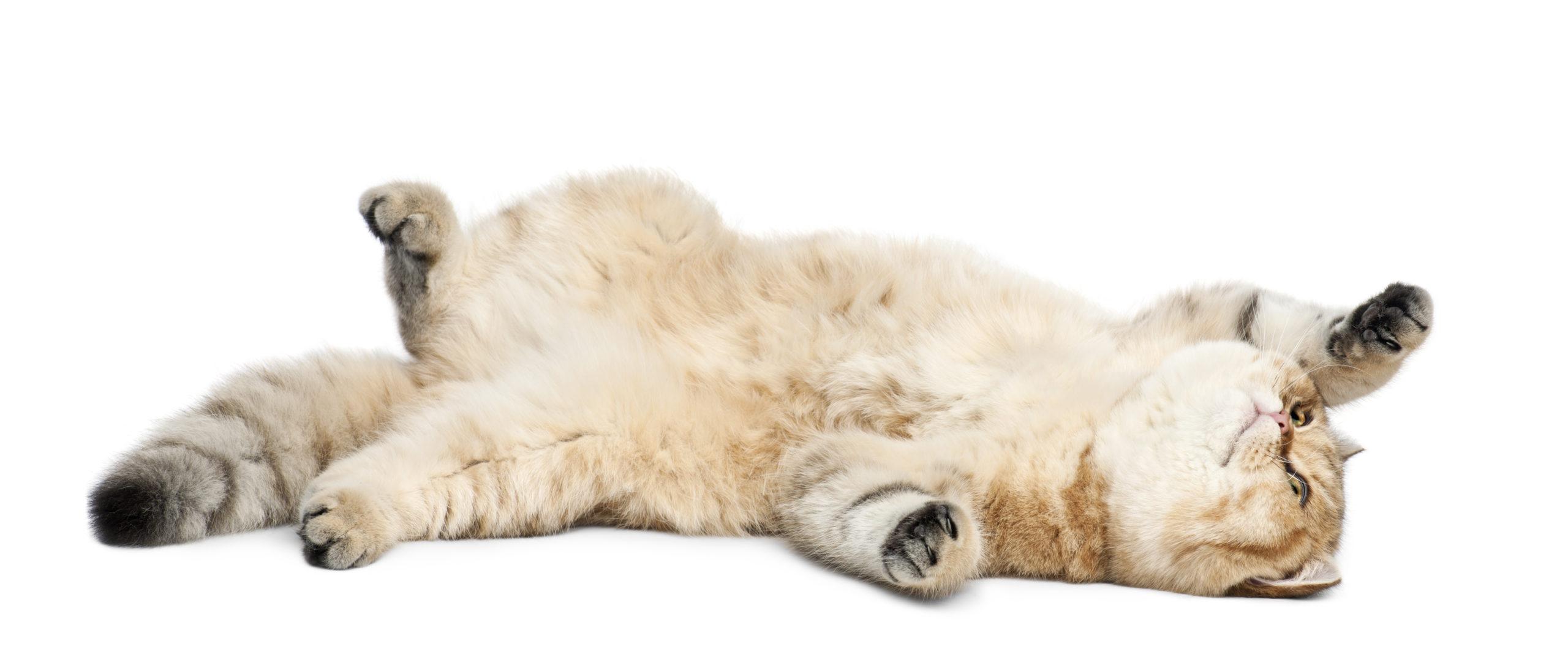 ネコがゴロンとする3つの理由とは?実は注意する点が5つあります。