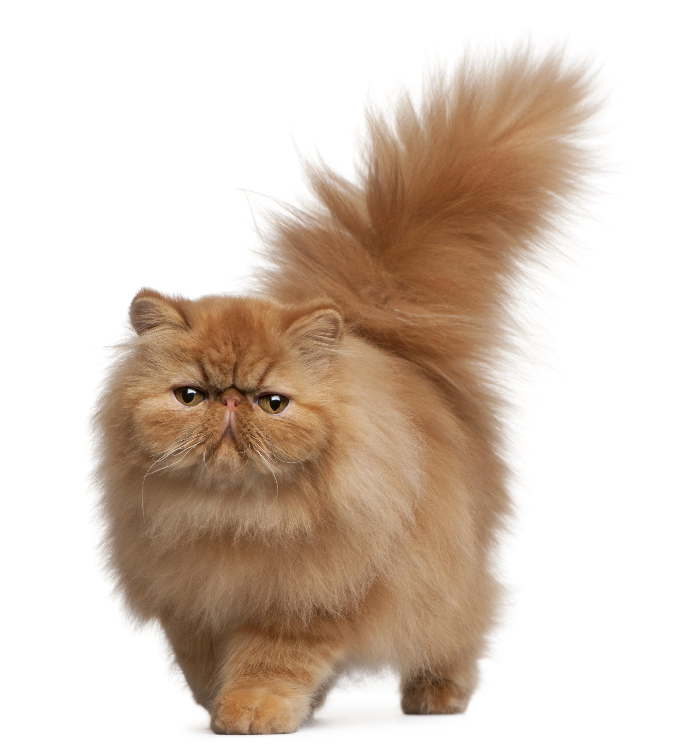 猫のしっぽが膨らむ仕組み