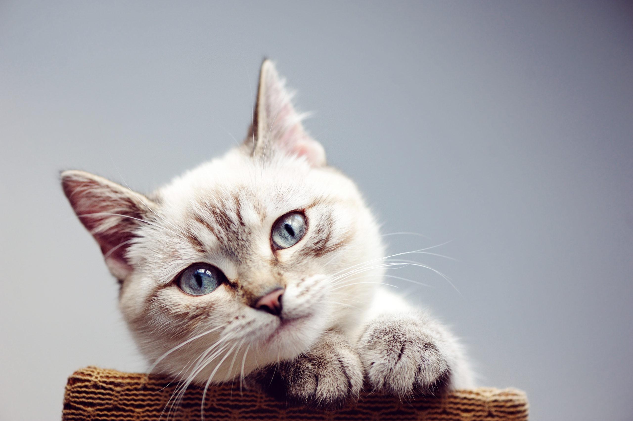 なぜ猫はあくびをするのか