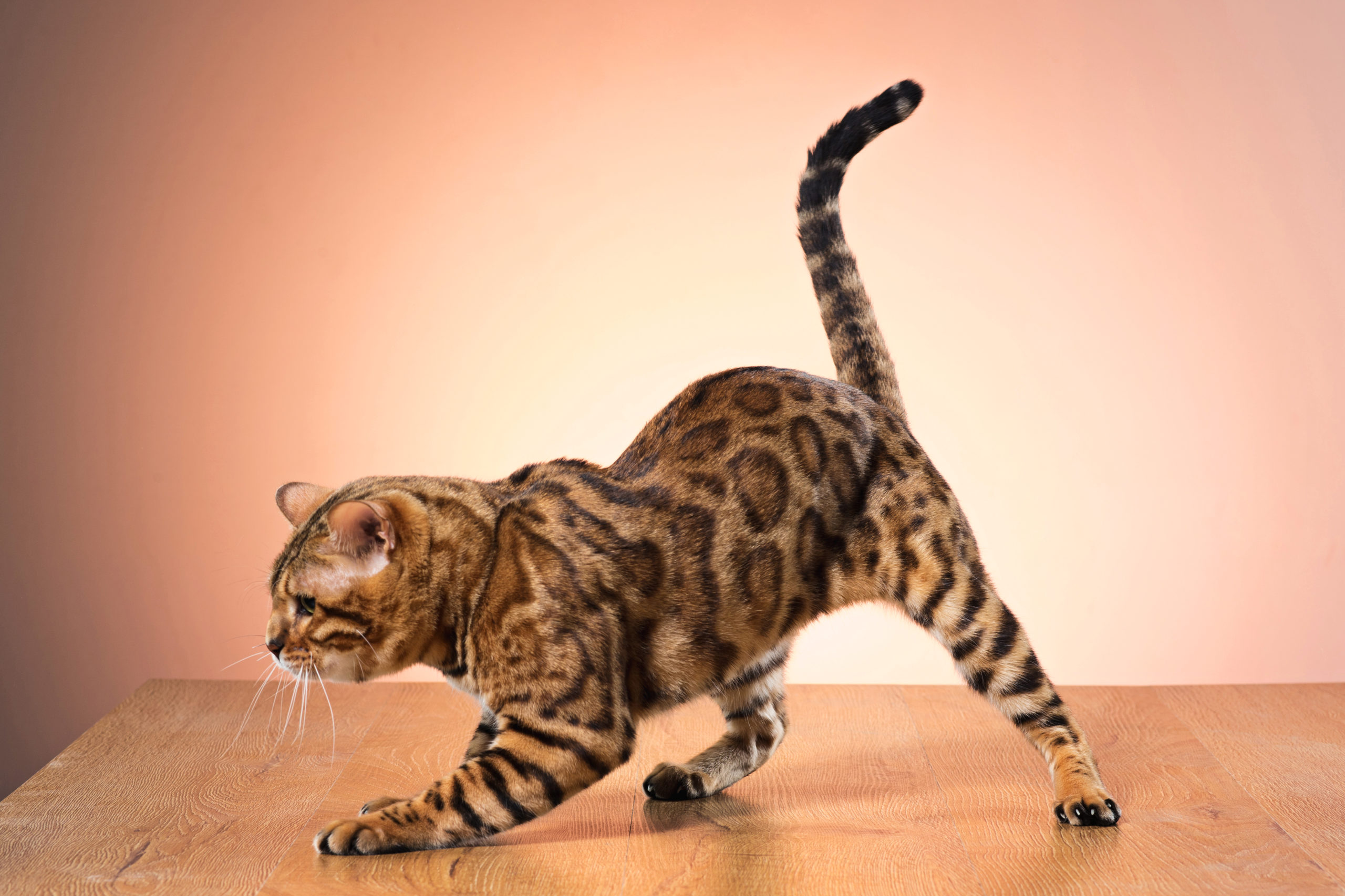猫がしっぽをくねくねする5つの理由【猫の気持を理解しよう】