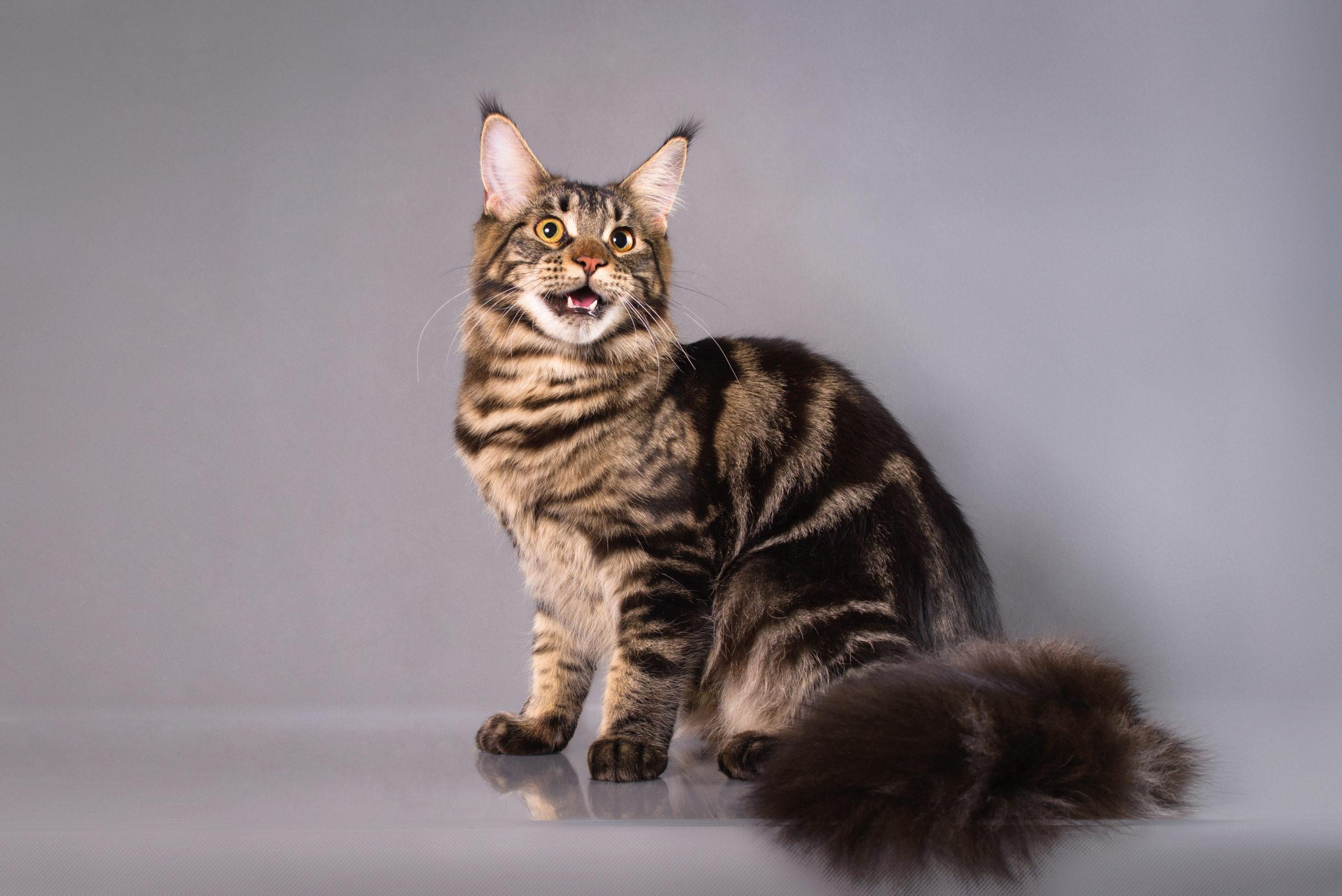 猫のしっぽが膨らむ理由
