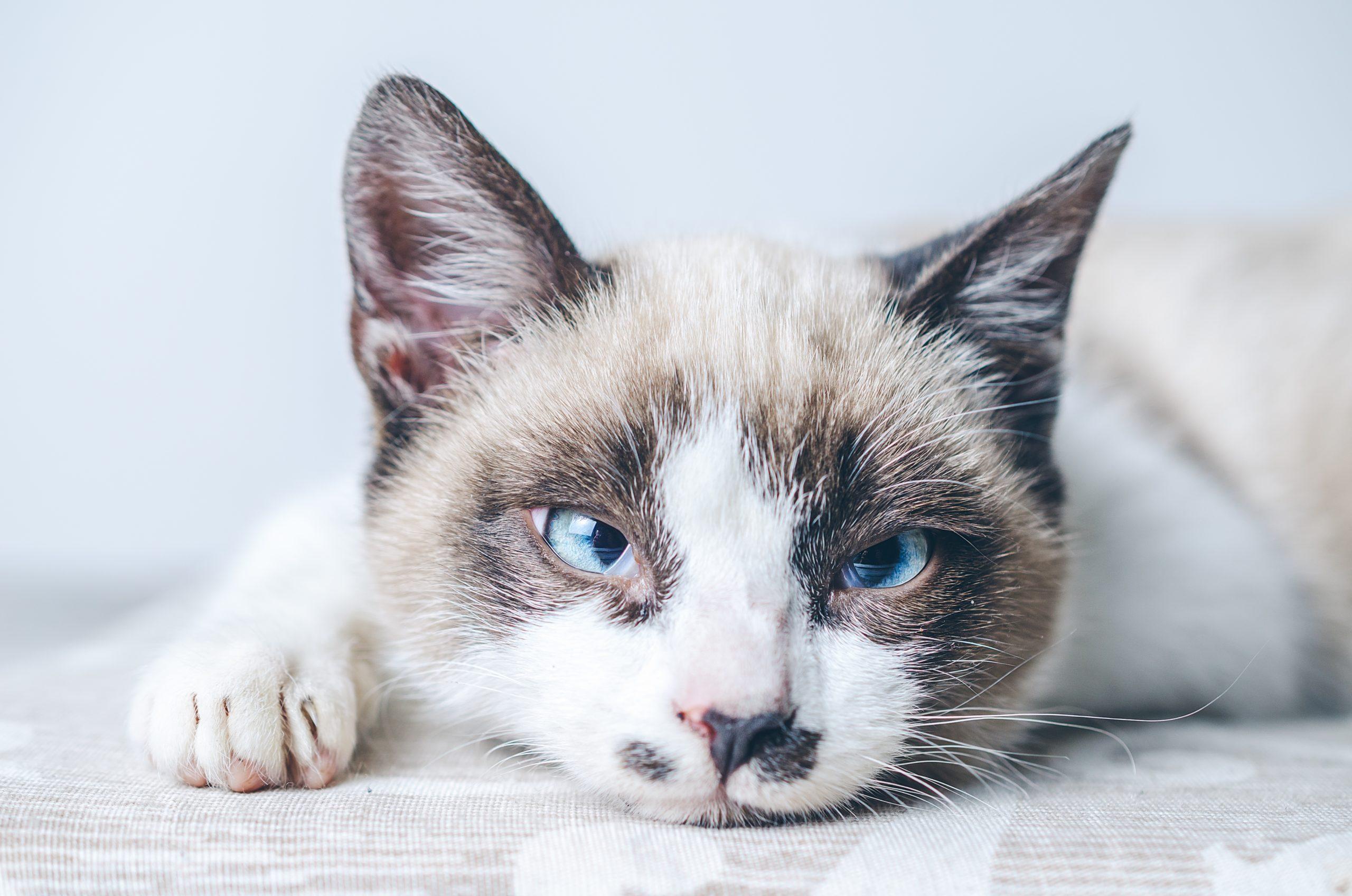 しっぽが短い猫と長い猫との違い