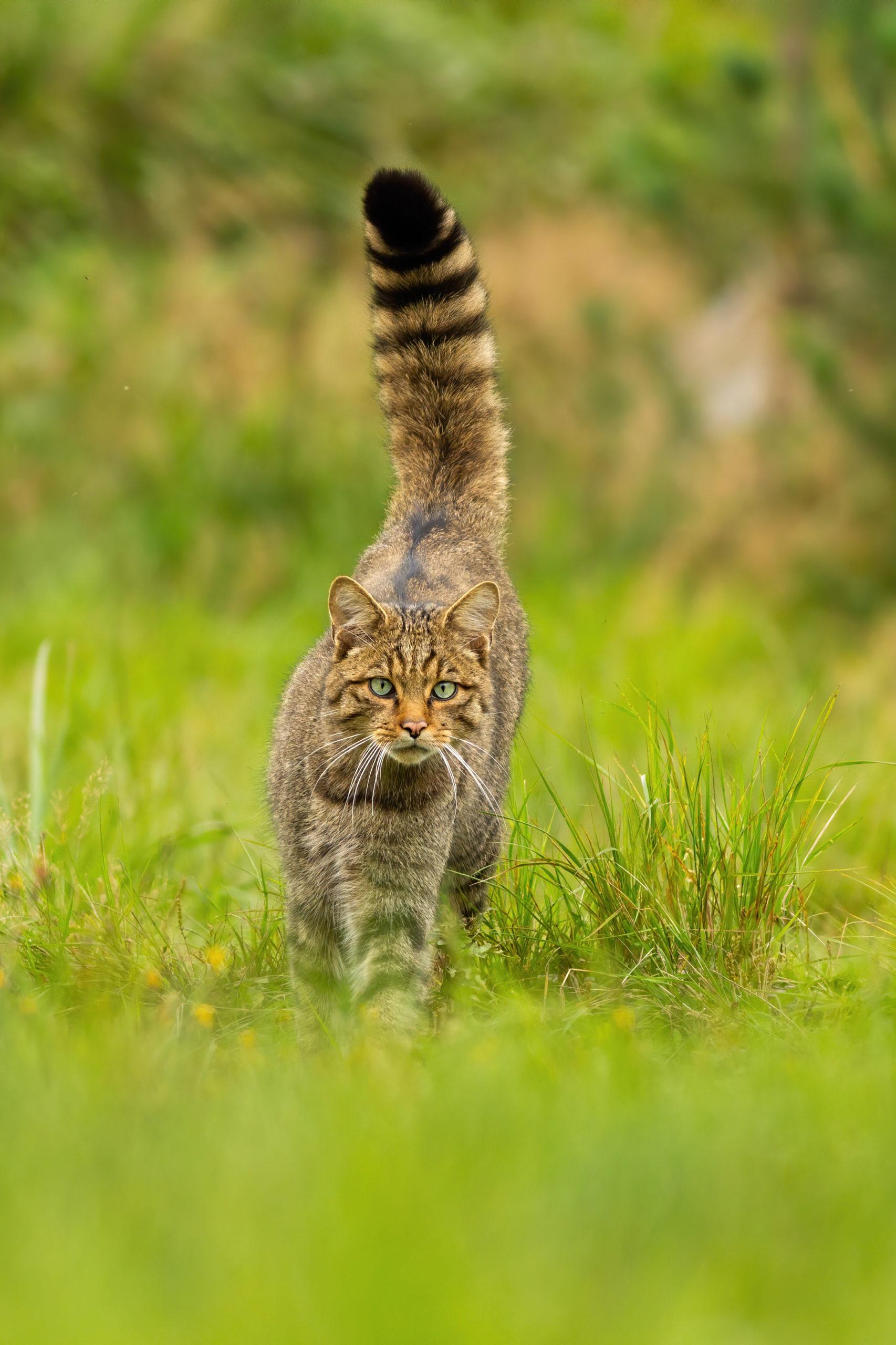 猫がしっぽを膨らませている時の3つの気持ち【膨らむ理由と仕組み】