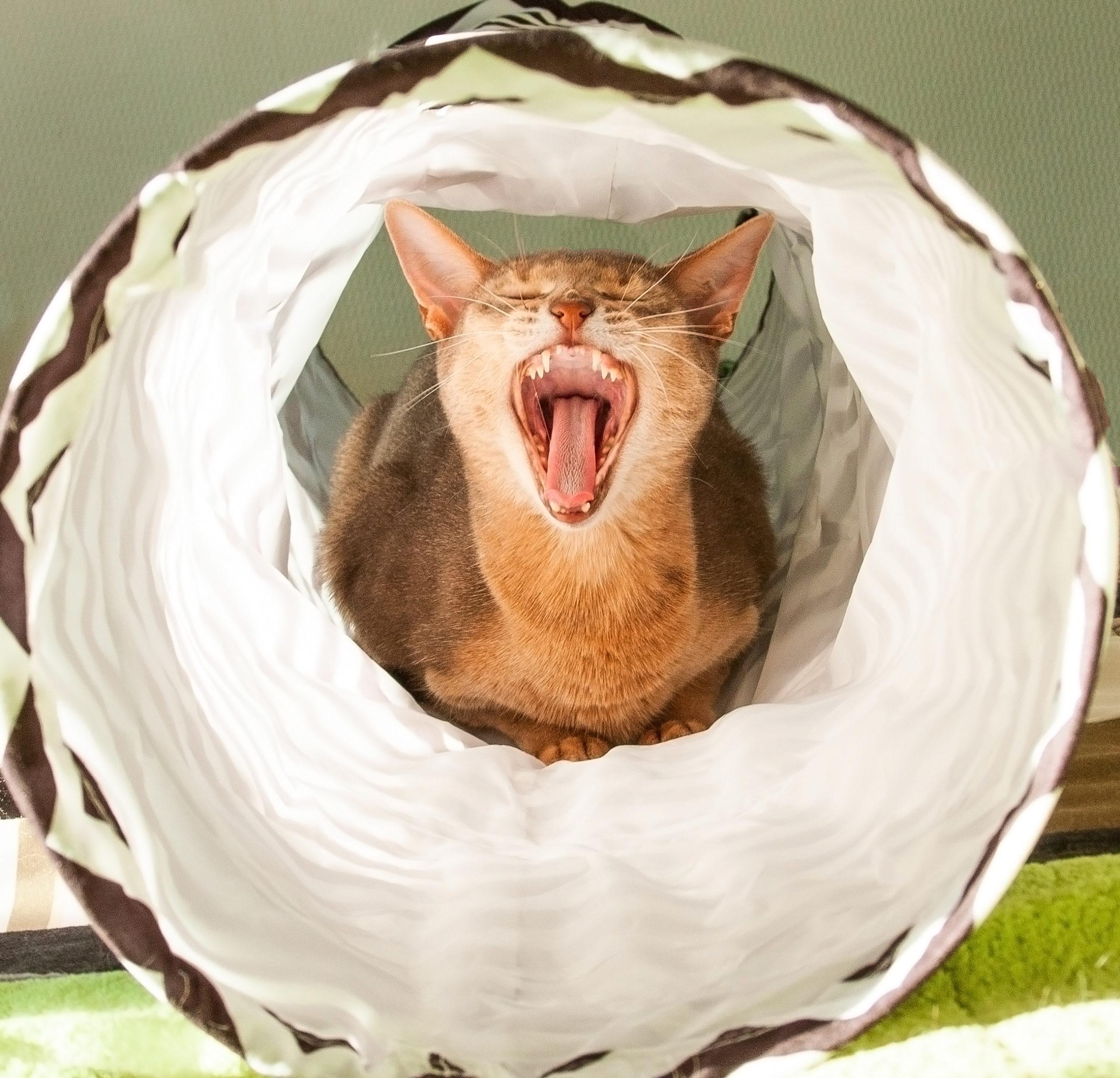 キャットトンネルの中で大きなあくびをする猫