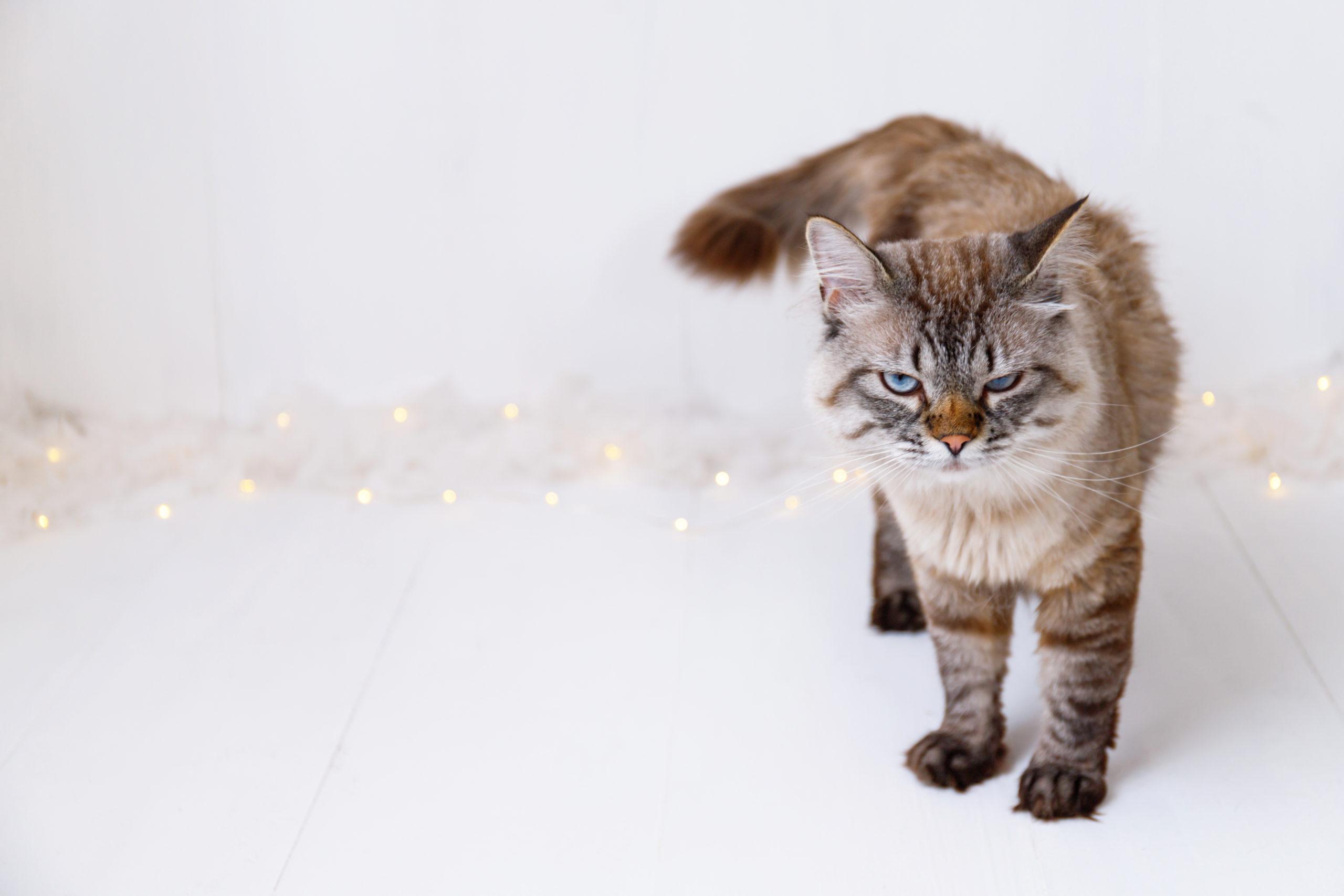 猫がくしゃみを連発する注意点:感染症の病気等