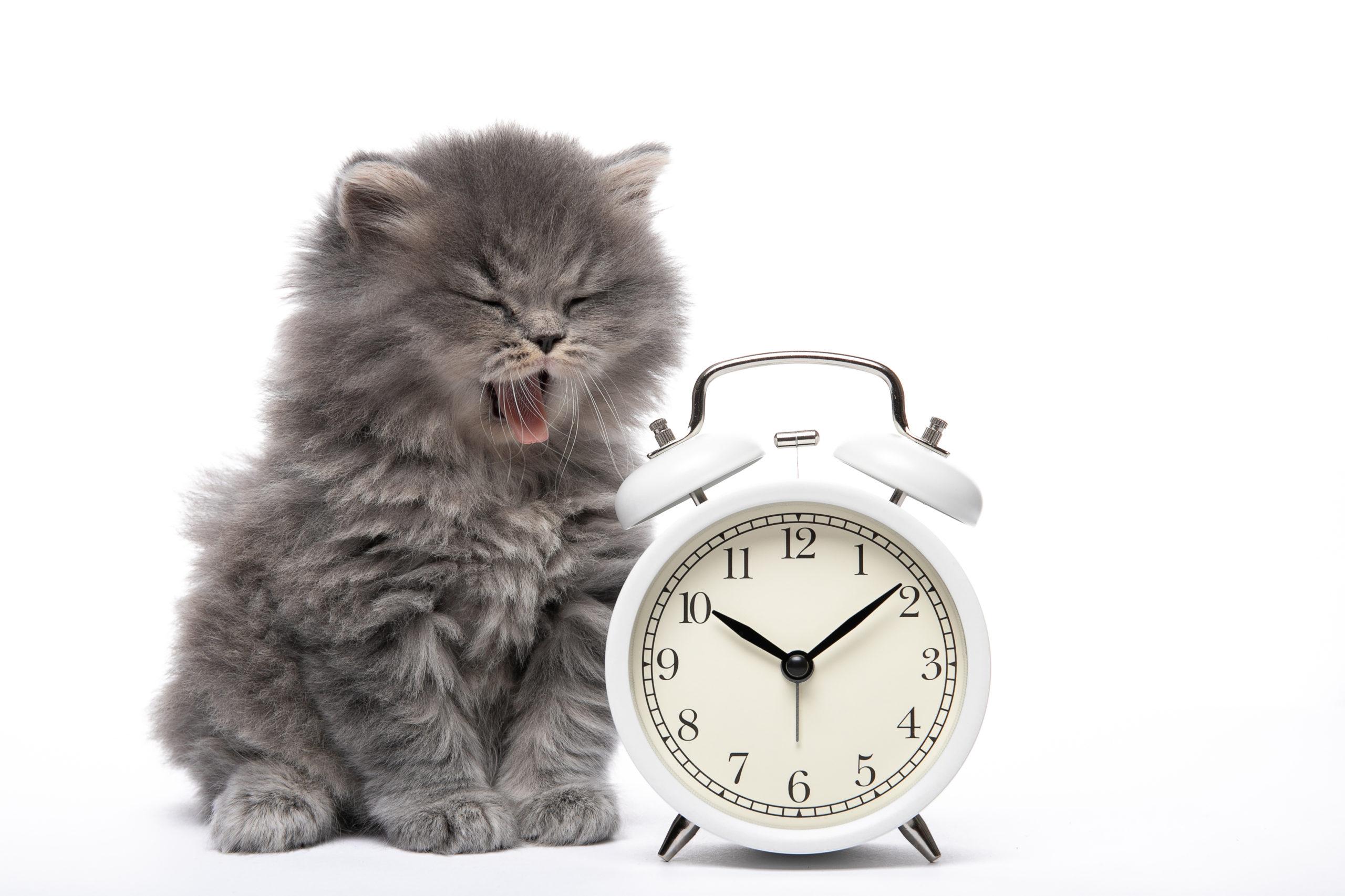 目覚まし時計の隣であくびをする子猫