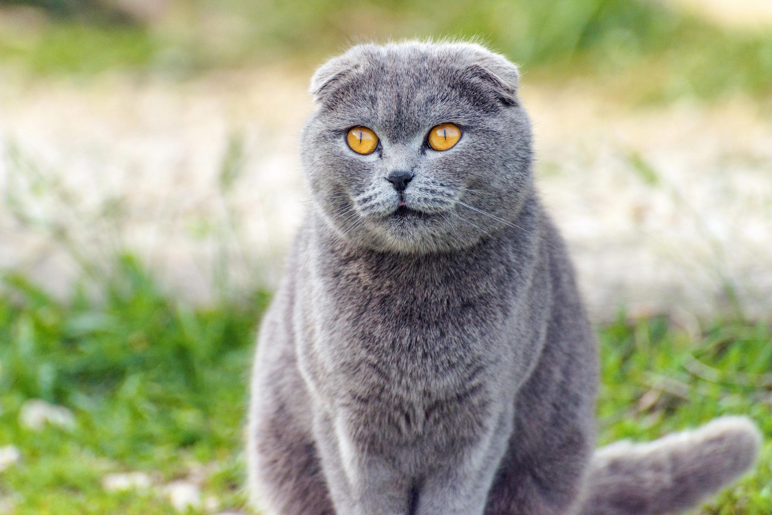 しっぽが短い猫とは?【しっぽが短い猫は幸運を呼ぶ】