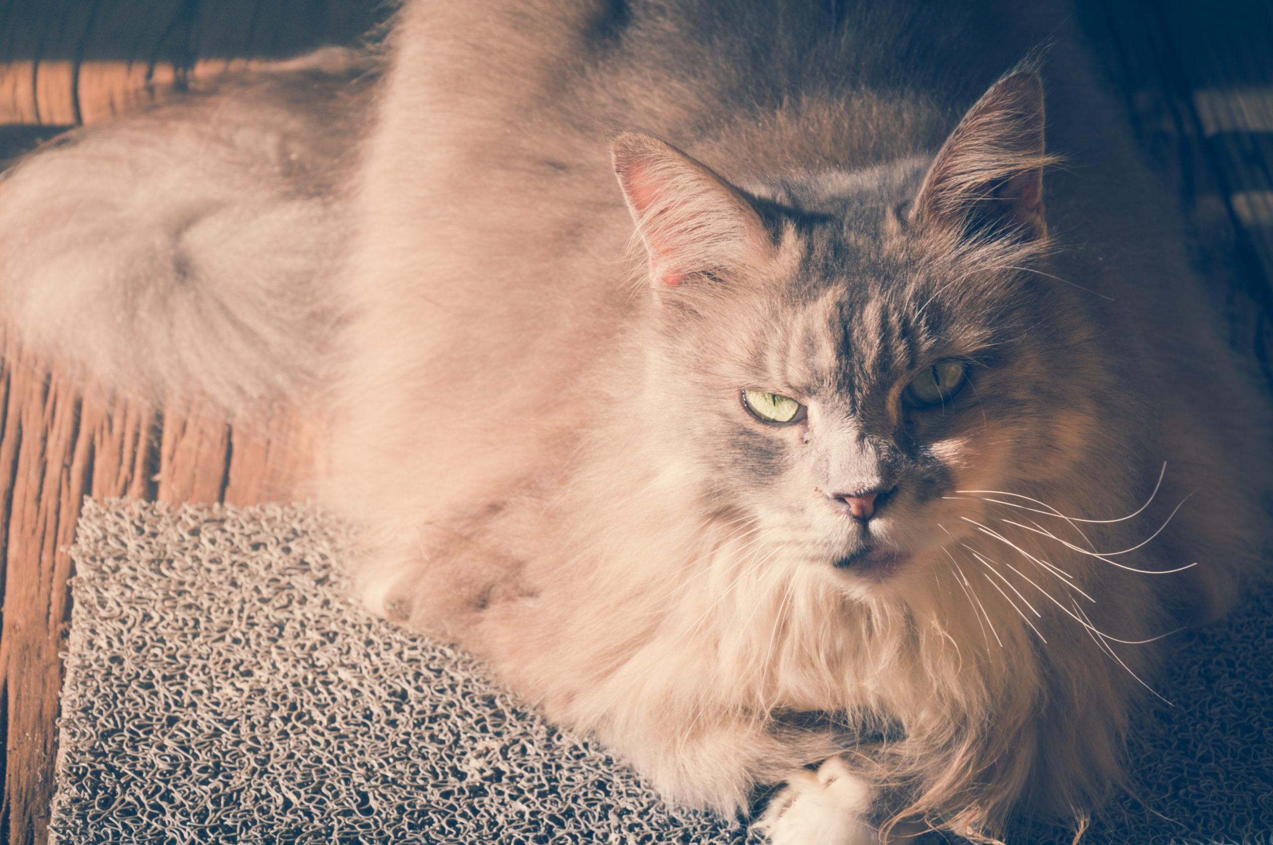 猫のしっぽが膨らむ時の3つの気持ち