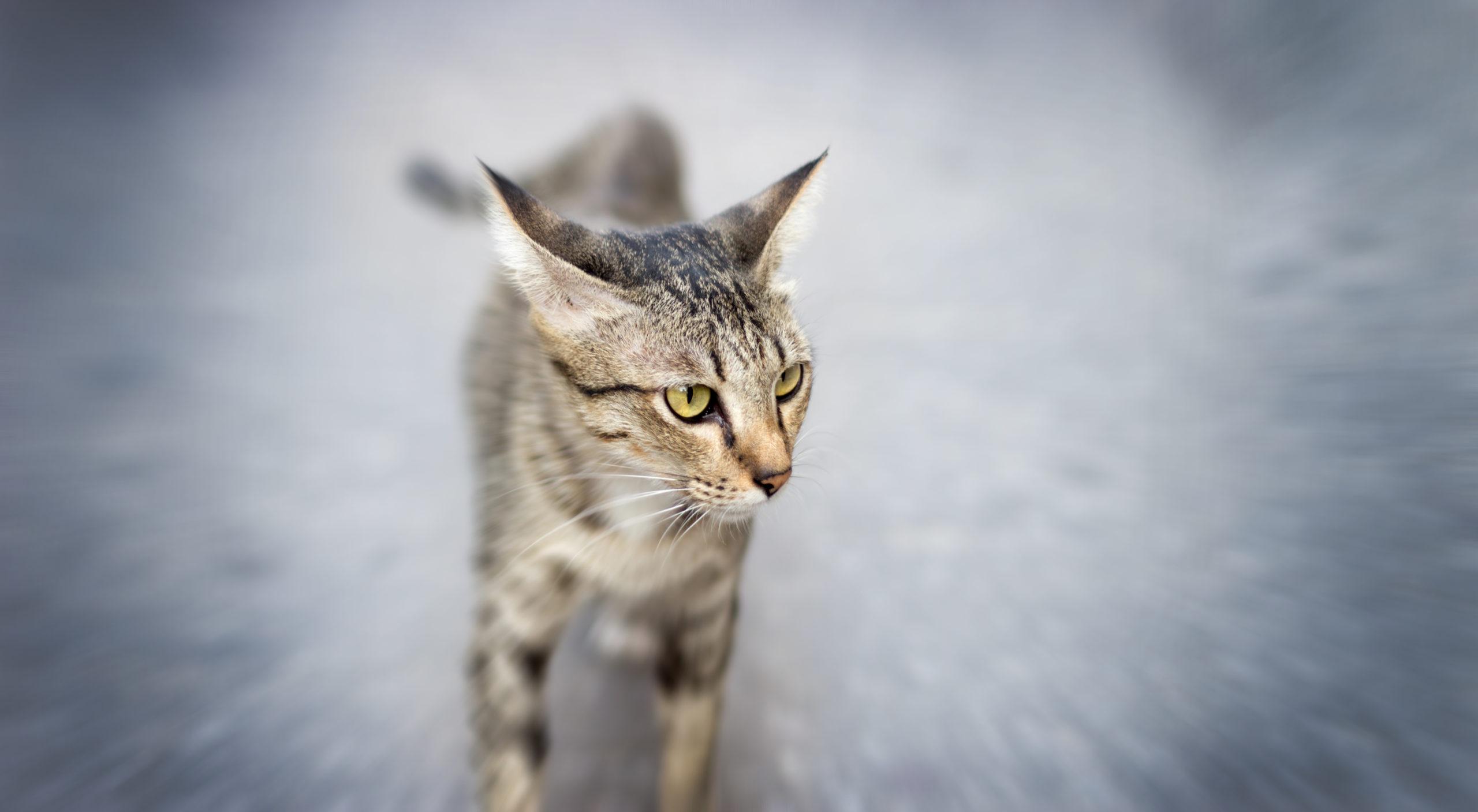 猫のトイレハイって何?【猫がトイレハイになる3つの理由】