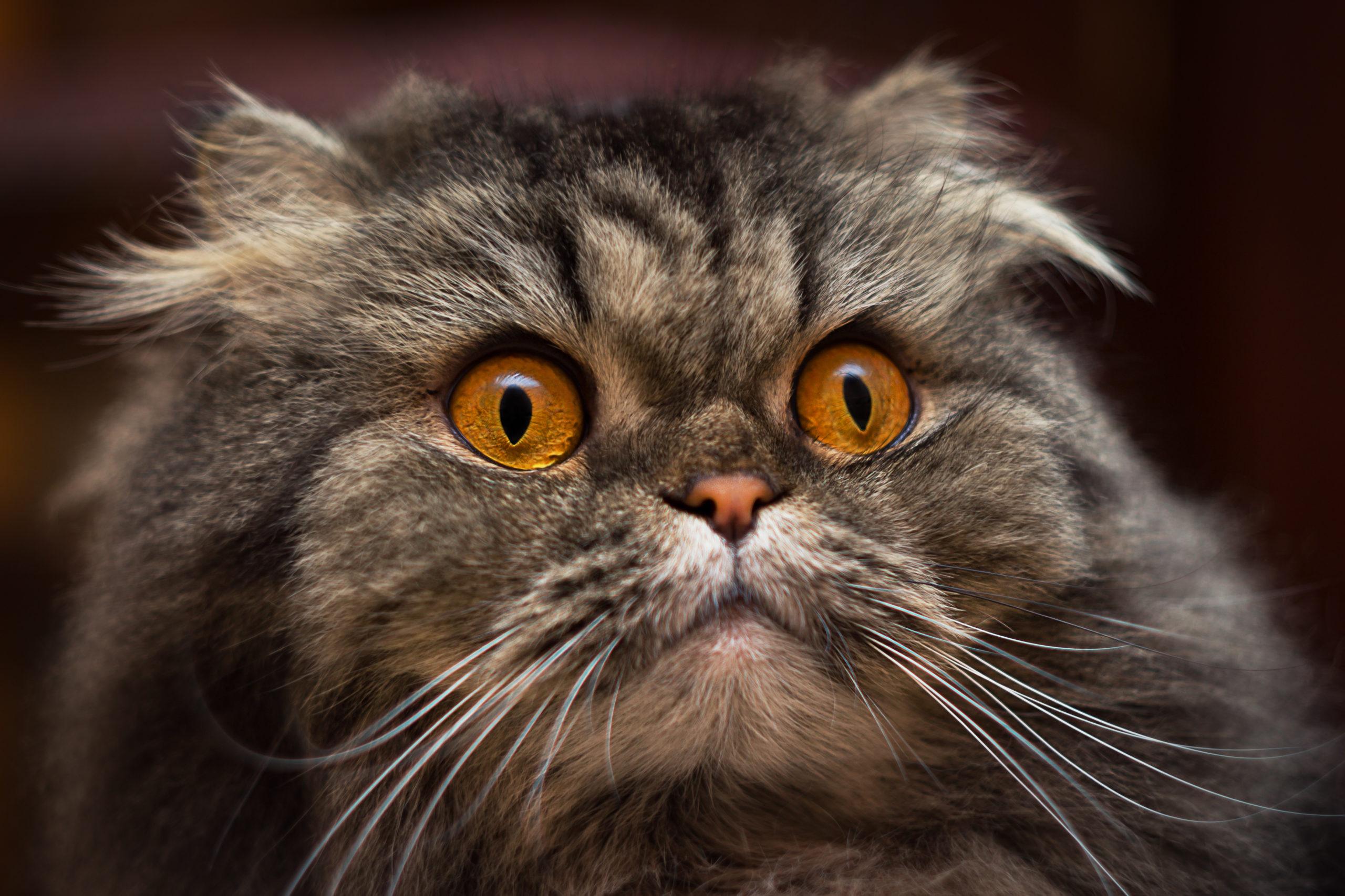 猫の耳毛は必要?【気になる猫の耳毛の適切な処理とは】