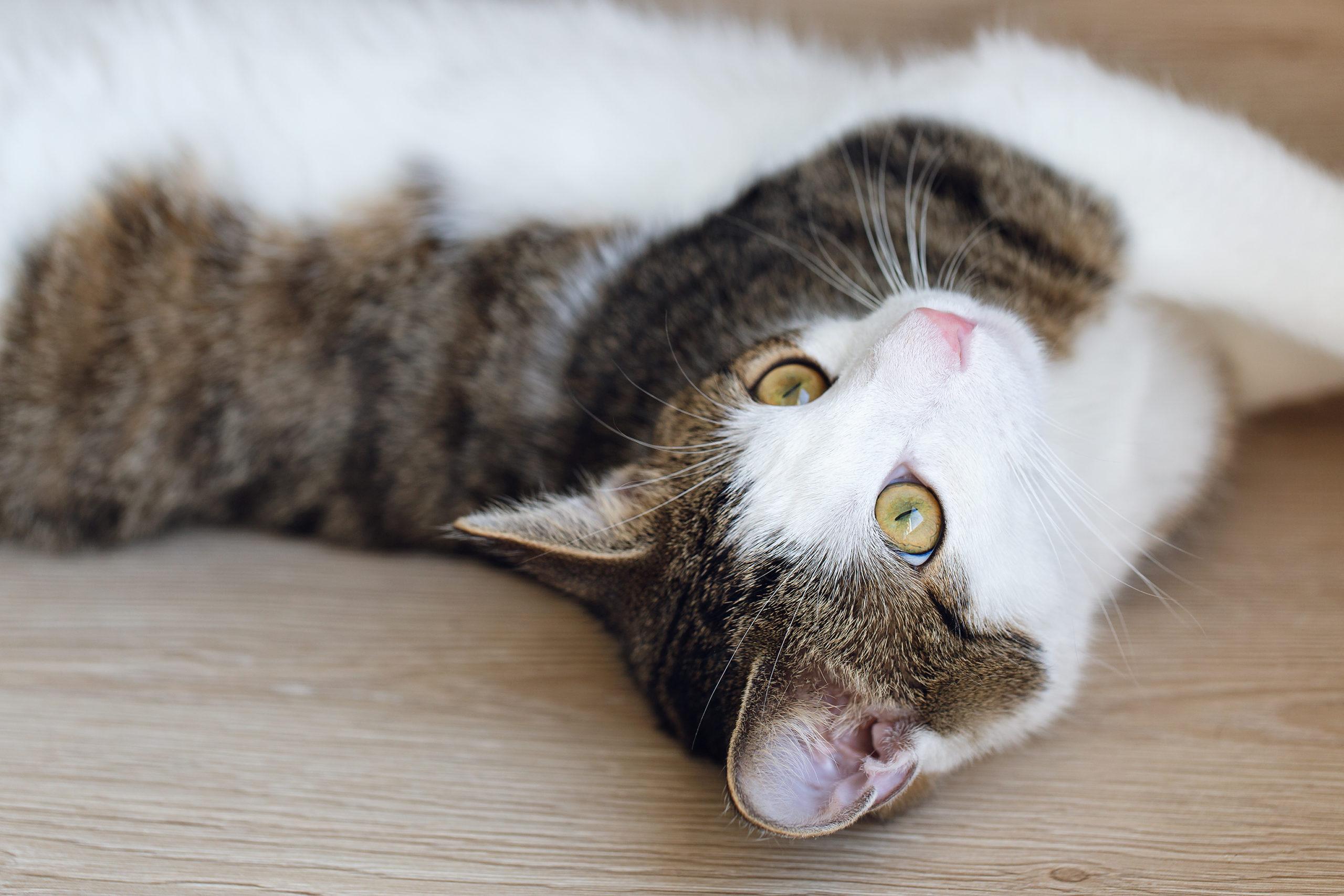 猫の耳を清潔に保つ予防法