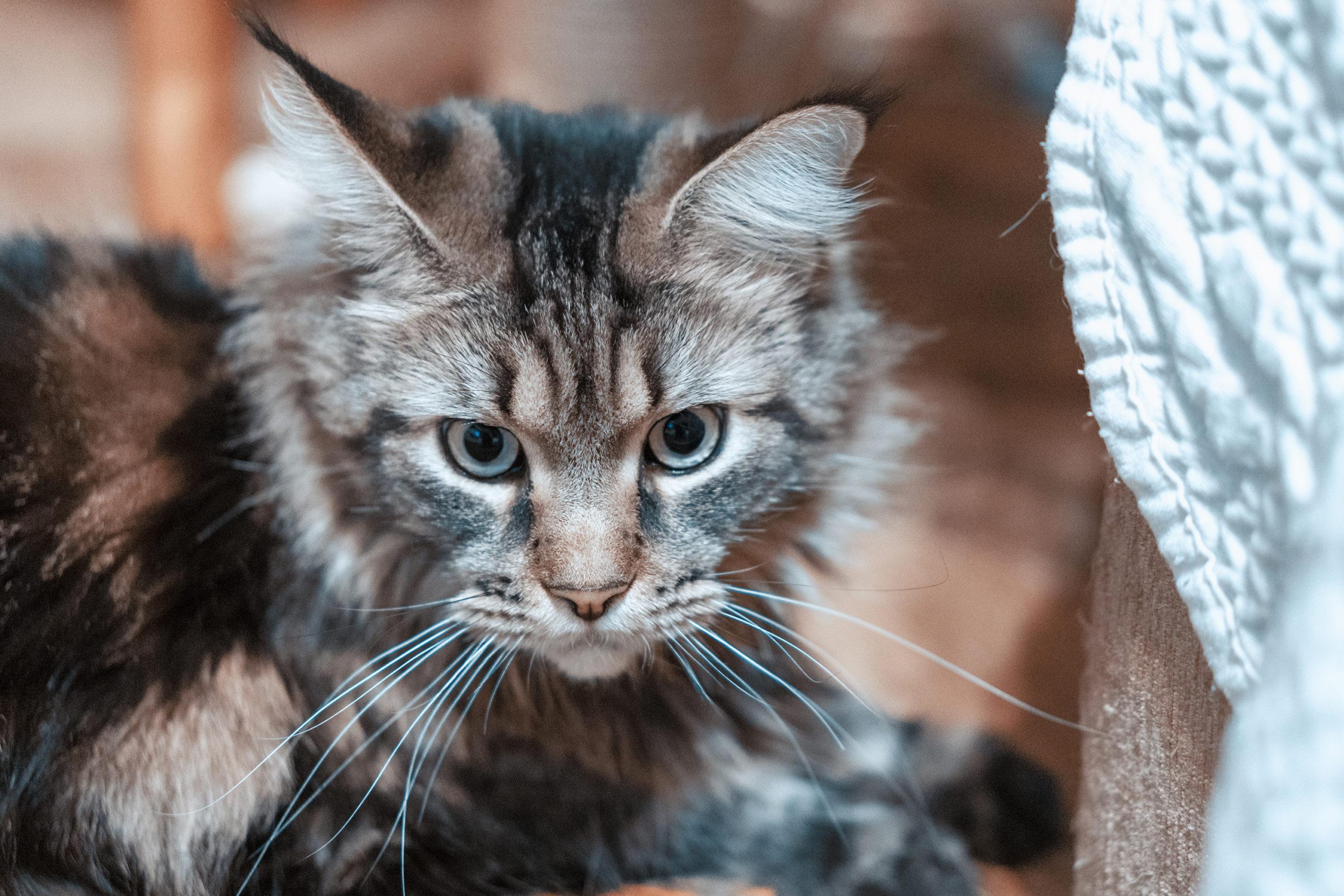 猫の耳掃除の正しい5つの方法