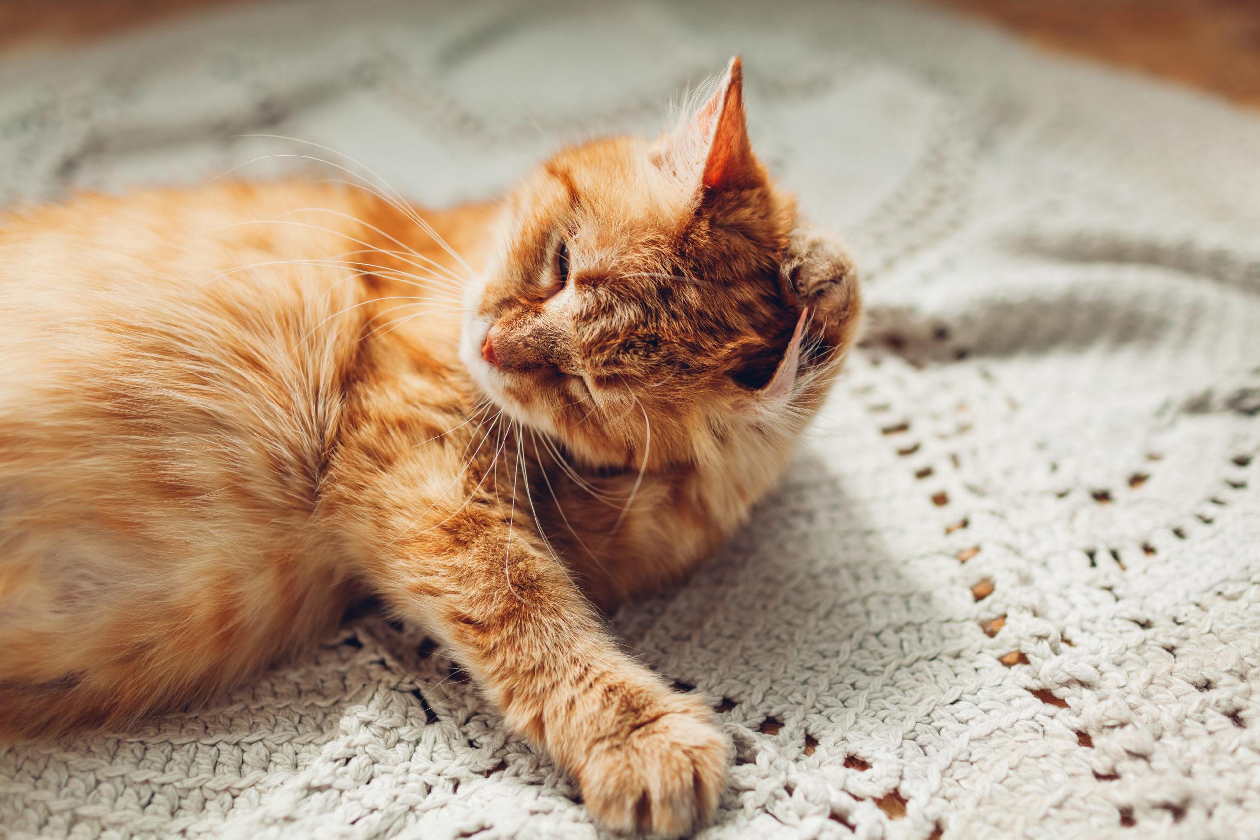 猫の耳は放置し過ぎると耳ダニになるって本当?