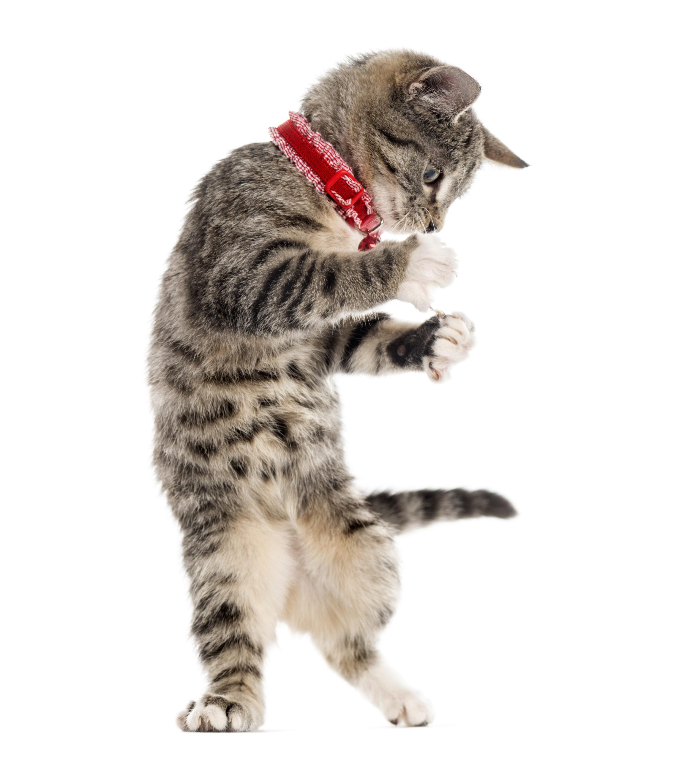 猫が首輪を嫌がる場合の対処法