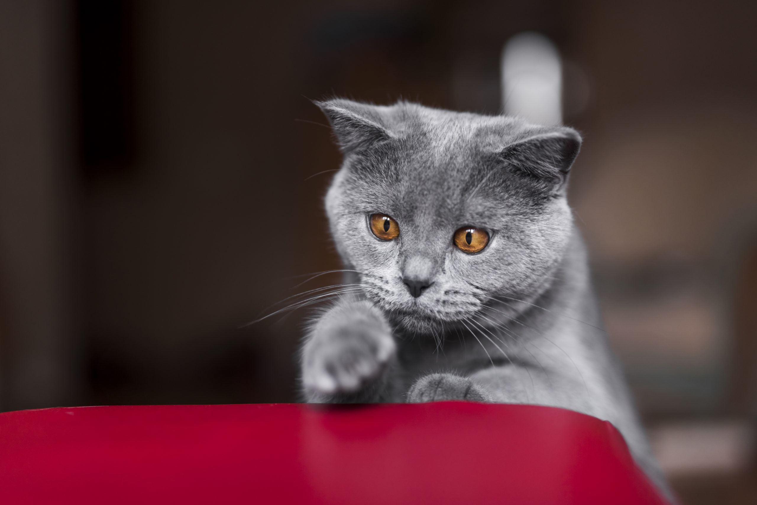 猫の感情は耳の角度で分かる?【よく聞くイカ耳の正体とは】