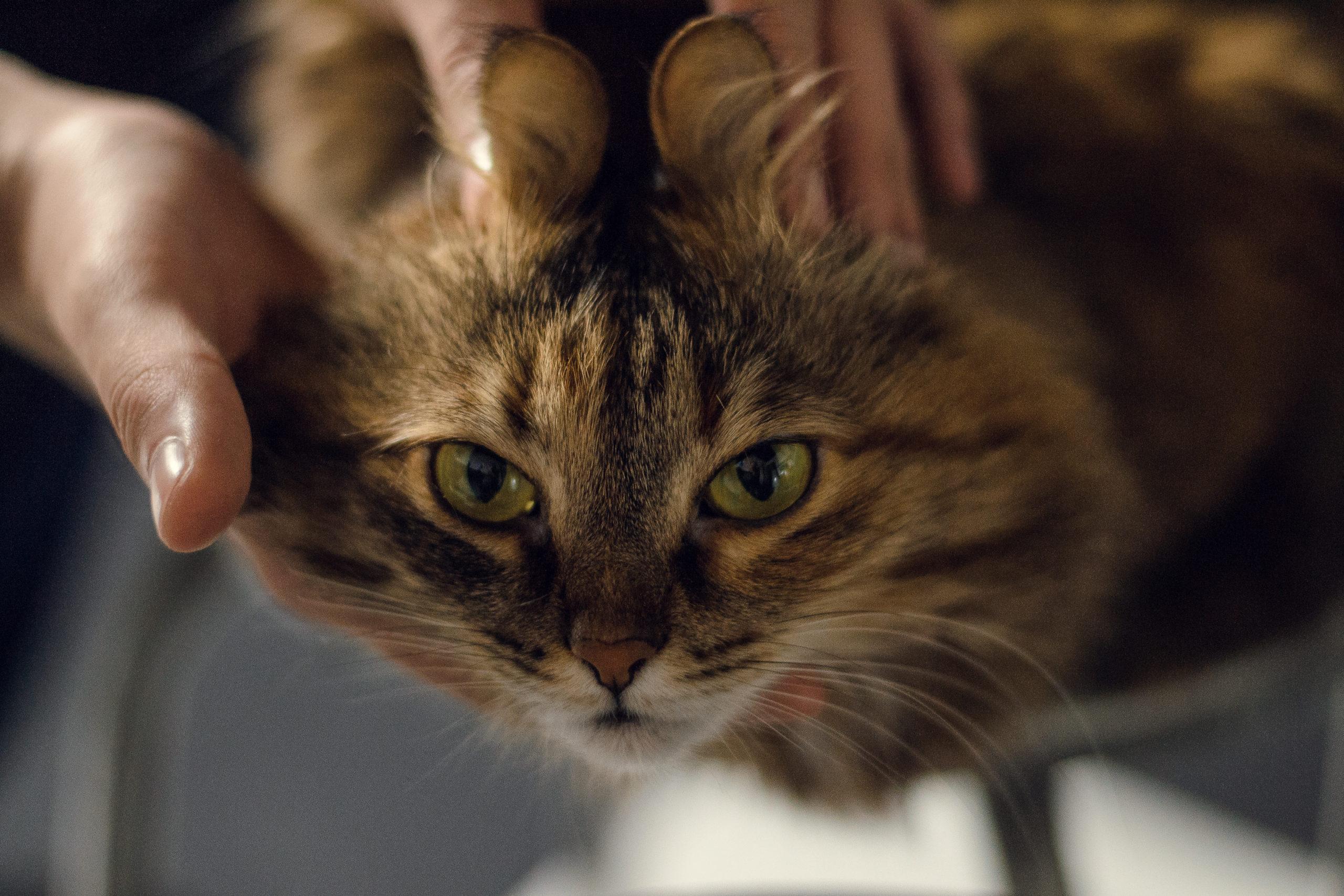 猫の耳毛の正しいカットの仕方