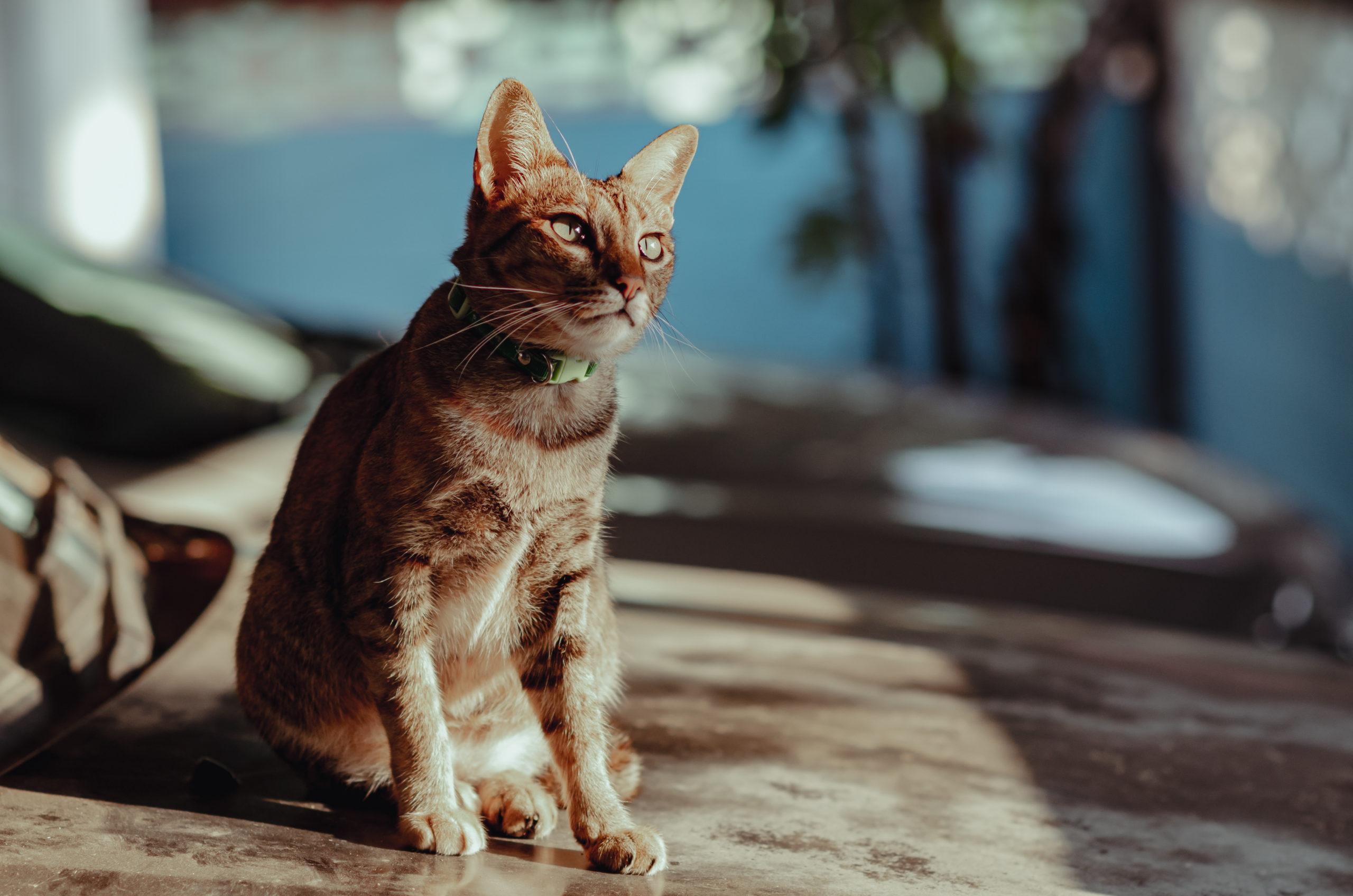 猫の迷子札のメリット・デメリット