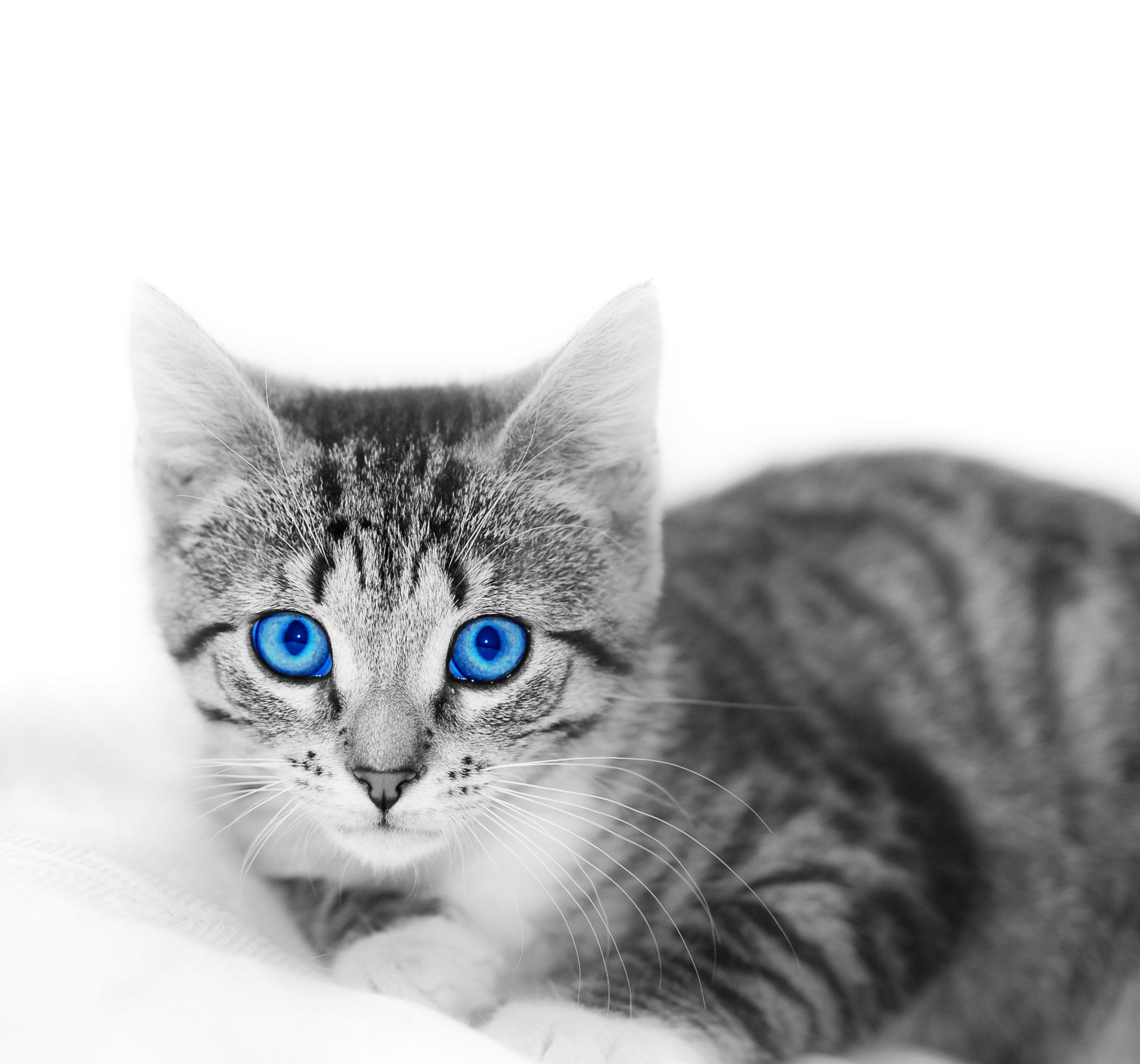 子猫と成猫の目の変化
